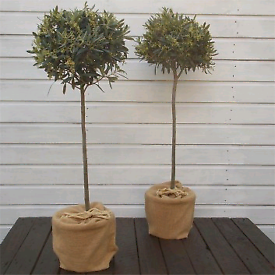 PAIR of OLIVE Trees 🌱