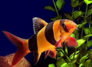 clown loach fish for sale at T T PETS