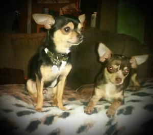 T-cup Chihuahuas weekend sale! Hurry~$600 each instead of $900.