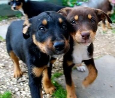 Kelpie Puppy Woodend Macedon Ranges Preview