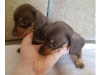 KC REG PEDIGREE MINIATURE DACHSHUNDS (1 BOY LEFT, CHOICE OF 2 BOYS AS WE ARE KEEPING OTHER ONE)