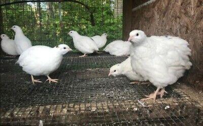 High Quality Texas Am Jumbo Quail Eggs For Hatching 12 Count