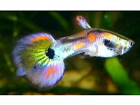 YOUNG GUPPY-ENDLER FISH (video available)
