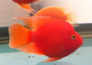 BLOOD PERROT  3INCHES  15$