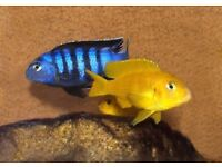 Demasoni and Electric Yellow and Blue Cichlids