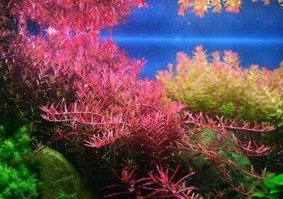 Beauty Stems - 5 Stems rotala colorata live aquarium plants beautiful!!! FREE S/H