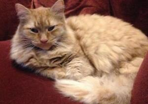 "Adult Male Cat: ""Fluffy and Tigger"" Cambridge Kitchener Area image 1"