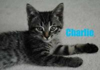"""Baby Male Cat - Domestic Short Hair: """"Charlie - Playful Dude!"""""""