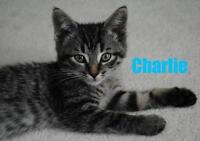 "Baby Male Cat - Domestic Short Hair: ""Charlie - Playful Dude!"""