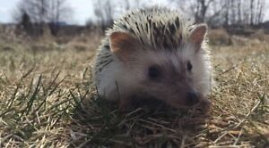 Hedgehogs for rehome!