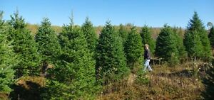 Christmas Trees and Brush For Sale