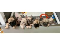 French Bulldog Puppies, Exceptionally Well Bred,Reared & Cared For.
