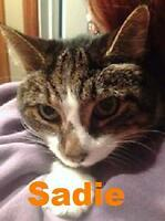 "Senior Female Cat - Domestic Short Hair: ""Sadie - Sweet girl!"""
