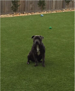 10 month old pure bred blue English staffy Highton Geelong City Preview