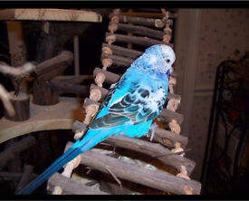 Exhibition English Budgie - Blue Opaline