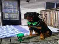 Pure breed Rottweiler puppy for sale. Still have 7 puppys left