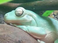 3 x Whites Tree Frogs