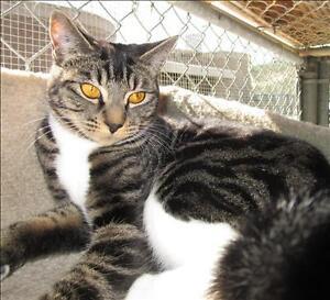 "Young Female Cat - Domestic Short Hair: ""Mira"""