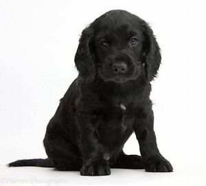 Looking For Black Cocker Spaniel Puppy West Gladstone Gladstone City Preview