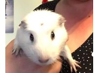 Adorable white crested male guinea pig
