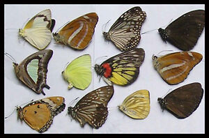 Box of a Dozen Unframed Butterflies, taxidermy