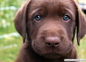 Looking for chocolate lab puppy
