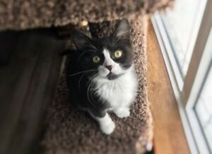"""Young Female Cat - Domestic Short Hair: """"Sassy"""""""