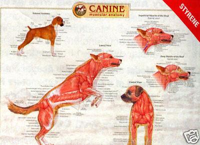 Canine Musculature Anatomy Laminated Wall Chart 92520 Dog