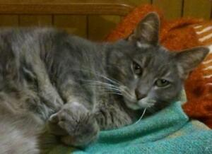 "Senior Female Cat - Domestic Short Hair-Tabby - Grey: ""Camélia"""