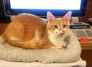 Young Male  - Domestic Medium Hair - orange and white Comox / Courtenay / Cumberland Comox Valley Area image 1