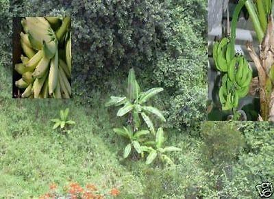 Für eine Diät : Banane Musa Nagensium Vegetarische Vegane Küche / Gesund kochen