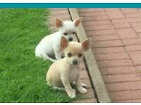 Chihuahua males for sale