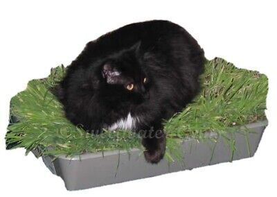 Cat Grass Oat Seed, Organic, 50g, Cats Absolutely Love It! ⭐️BUY 2 GET 2 FREE⭐️