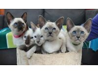 Adorable Siamese kittens GCCF Registered