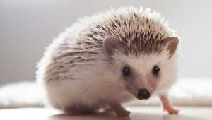 Baby hedgehogs only 1 left! Peterborough Peterborough Area image 1