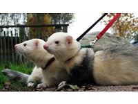 2 Ferrets for Sale, Free Run