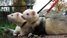 WTB, pair of ferrets. Hamilton Newcastle Area Preview