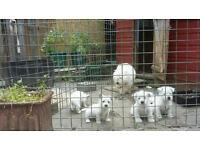 West Highland pups