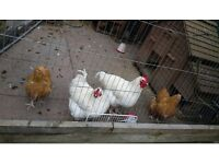 2 Hens and 2 Roosters for Sale