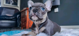 Outstanding French bulldog Puppies