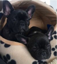 French Bulldog Puppies | Black Brindle | Male Eveleigh Inner Sydney Preview