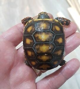 Tortue charbonniere / redfoot tortoise
