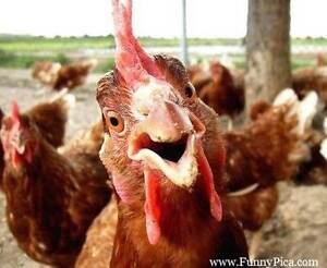Grafton monthly poultry market Saturday! Grafton Clarence Valley Preview