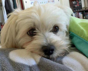Almost 2 year old FEMALE MALTESE looking for a new home