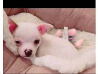 Chihuahua cross puppy male