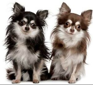 Looking for a breeder of long haired chihuahuas