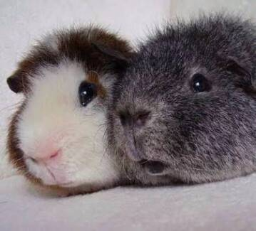 Wanted - 2 Rex Guinea Pigs