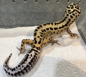 Leopard Gecko Pair with tank