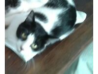 Black/white female cat lost/missing since June 2017, Northants.