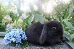 Pure Bred Mini Lop Girl Bunny Newport Pittwater Area Preview